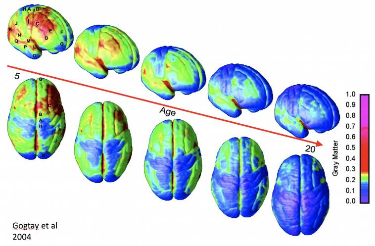 成熟している脳Gogtay et al 2004