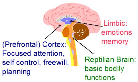 Evolutionary development of the brain